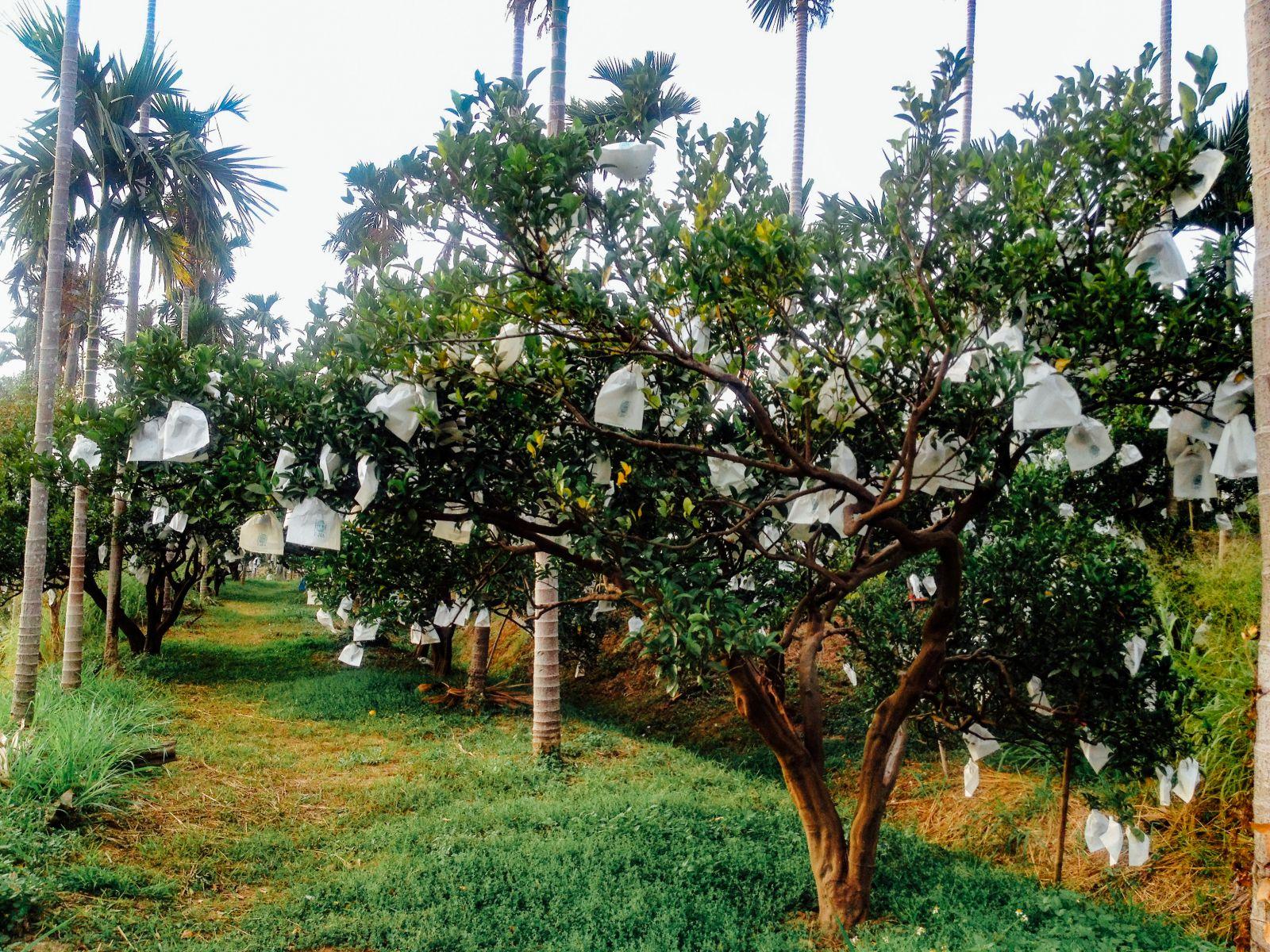 柑橘树上的白色纸袋中,幸福橘子们正在用力长大;树林的鸟儿,生长在无